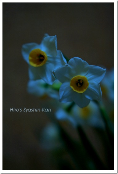 Narcissus in the moonlight