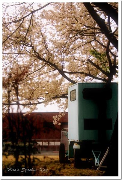 桜の中の馬運車