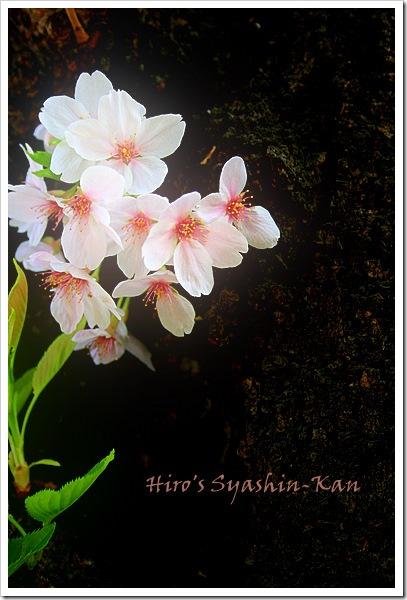 SAKURA2009-1